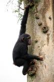 Chimpanzee - Uganda royalty free stock photos