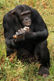 Chimpanzee - Uganda Royalty Free Stock Images