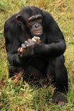 Chimpanzee - Uganda royalty free stock images