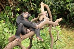 Chimpanzee - Uganda Royalty Free Stock Photography