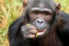 Chimpanzee - Uganda Stock Photos