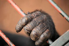 Chimpanzee - Uganda Royalty Free Stock Photo