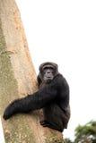 Chimpanzee - Uganda Stock Photography