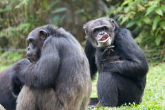 Chimpanzee. A Chimpanzee is using his naught face to say hello to me stock photos