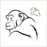 Chimpanzee. Vector illustration : Chimpanzee on a white background Stock Photos