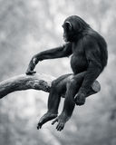 Chimpanzee VI. Young Chimpanzee Swinging from a Tree Branch royalty free stock image