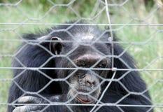 A Chimpanzee viewing through the fence Stock Photos