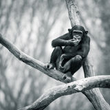 Chimpanzee VII Royalty Free Stock Photos