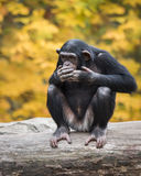 Chimpanzee VIII Royalty Free Stock Photos