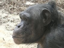Chimpanzee looking out at the day and smiling stock photo