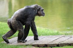 Chimpanzee walking Royalty Free Stock Photos