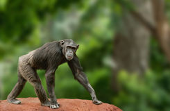 Chimpanzee walking. Ape chimpanzee female looking at camera, walking over a white background royalty free stock photography