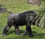 Chimpanzee. Walking On The Grass stock images