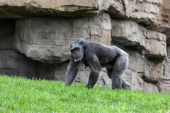 Chimpanzee walking Royalty Free Stock Images