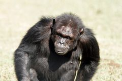 A Chimpanzee walking at Ol Pejeta Conservancy. Chimpanzees are the closest living relatives to humans Royalty Free Stock Photography