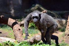 Chimpanzee. Walking in the sun stock photo