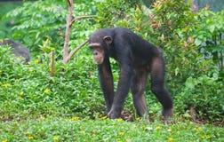 Chimpanzee. A chimpanzee walking in zoo royalty free stock image