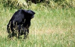 Chimpanzee. Walking in a zoo Stock Photo