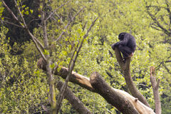 Chimpanzee. Watching his territory Royalty Free Stock Photography