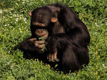 A chimpanzee who eats. A chimpanzee at the zoo in Athens while eating the grass royalty free stock photo