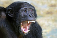 Chimpanzee. With wide open mouth stock photography