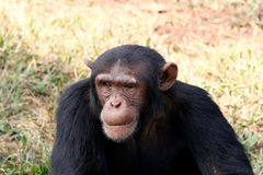 Chimpanzee Stock Image