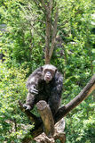 Chimpanzee in the wood. Happy chimpanzee play on branch royalty free stock image