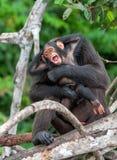 Chimpanzee (Pan troglodytes) Royalty Free Stock Photos