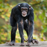 Chimpanzee XII. Frontal Portrait of Young Chimpanzee stock photos
