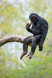 Chimpanzee XIII. Young Chimpanzee Sitting in Tree royalty free stock images