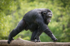Chimpanzee XIV. Alpha Male Chimpanzee Walking on Tree Branch stock image