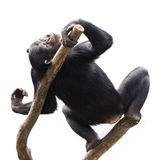 Chimpanzee XV. Young Chimpanzee Lounging in the Sun in a Tree stock photos