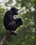 Chimpanzee XVIII. A Profile Portrait of a Chimpanzee Sitting in a Tree royalty free stock image