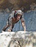 Chimpanzee Stock Photo