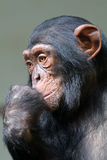 Chimpanzee. A young Chimpanzee close up portrait royalty free stock photo