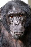 Chimpanzee. Young male Chimpanzee close up portrait stock images
