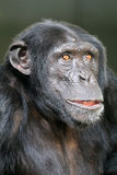 Chimpanzee. A young male Chimpanzee close up portrait stock image