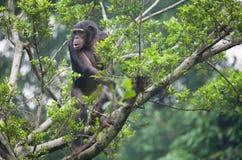 Chimpanzee. A young chimpanzee on the tree stock image
