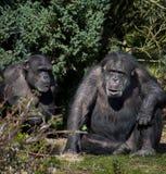 Chimpanzee - Zambia Stock Images