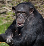 Chimpanzee - Zambia. A female Chimpanzee (Pan troglodytes) in northern Zambia. Chimpanzees are members of the Hominidae family, along with gorillas, humans, and Royalty Free Stock Images