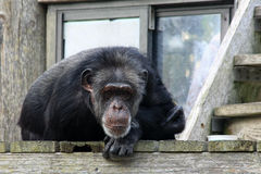Chimpanzee at the Zoo. Chimpanzee observing visitors at the Zoo royalty free stock photography