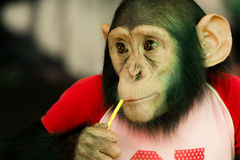 Chimpanzee in zoo Royalty Free Stock Image