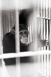 Chimpanzee in ZOO Stock Photo