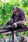 Chimpanzee in the zoo Royalty Free Stock Photo