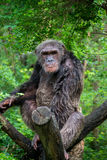 Chimpanzee. In zoo of thailand Stock Photography