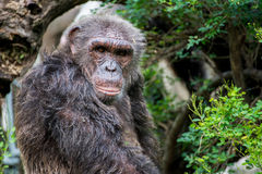 Chimpanzee. In zoo of thailand Royalty Free Stock Photo