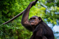 Chimpanzee. In zoo of thailand Stock Photo