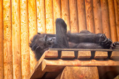 Chimpanzee In A Zoo. A tired chimpanzee resting and watching the visitors at the Tallinn Zoo in Estonia royalty free stock image