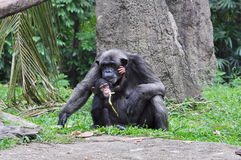 Chimpanzees royalty free stock photo