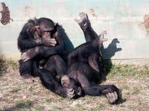 Chimpanzees Stock Image
